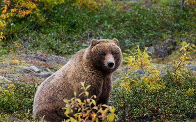 Járt-e medve Bükkaranyoson?